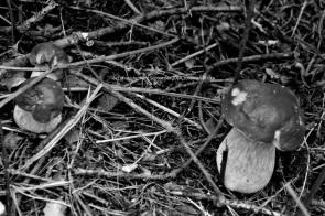 fungi6bw_small